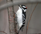 Downy Woodpecker - Picoides pubescens