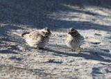 Ipswich Savannah Sparrow - Passerculus sandwichensis