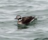 Long-tailed Duck - Clangula hyemalis