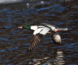Common Merganser - Mergus merganser