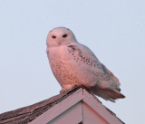 Snowy Owl - Bubo scandiacus (at sunset)