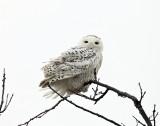 Snowy Owl - Bubo scandiacus