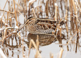 Shorebirds - genus Gallinago