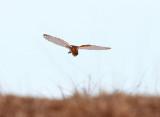 Barn Owl - Tyto alba