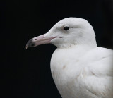 Glaucous Gull - Larus hyperboreus