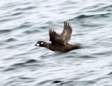 Harlequin Duck - Histrionicus histrionicus (female)