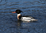 Red-breasted Merganser - Mergus serrator