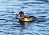 Ring-necked Duck - Aythya collaris (female)