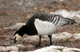 Barnacle Goose - Branta leucopsis