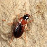 Stenolophus plebejus (light morph)
