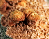 Hydnochaete olivaceum (Brown-toothed Crust Fungi)