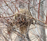 mouse nest in a bush
