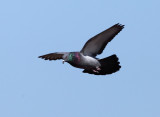Rock Pigeon - Columba livia