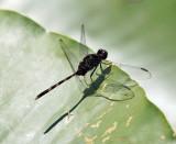 Pin-tailed Pondhawk - Erythemis plebeja