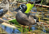 Blue-winged Teal - Anas discors