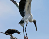 Double-crested Cormorant - Phalacrocorax auritus (chasing off a Wood Stork)