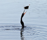 Anhinga - Anhinga anhinga (flipping the fish into the air)