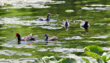 Common Gallinules - Gallinula galeata with chicks