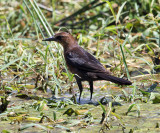Boat-tailed Grackle - Quiscalus major (female)