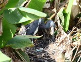 Tricolored Heron - Egretta tricolor (on nest with eggs)