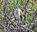 White Ibis - Eudocimus albus (immature)