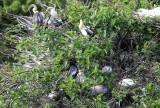 Anhinga - Anhinga anhinga (nests with chicks)