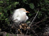 Cattle Egret - Bubulcus ibis (on nest)