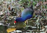 Purple Gallinule - Porphyrio martinicus