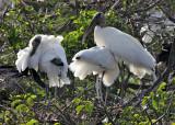 Wood Storks - Mycteria americana