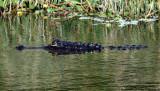 American Alligator - Alligator mississippiensis