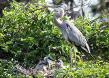 Great Blue Heron - Ardea herodias (with chicks in nest)