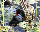 Common Gallinule - Gallinula galeata feeding chick