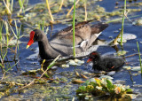 Common Gallinule - Gallinula galeata with chick