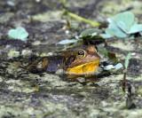 Pig Frog - Rana grylio