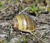 Apple Snail - Pomacea sp.