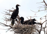 Double-crested Cormorant & Neotropic Cormorant (mated pair with chick in nest)