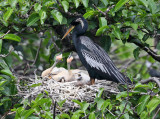 Anhinga - Anhinga anhinga (on nest with chicks)