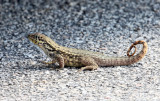 Northern Curly-tailed Lizard - Leiocephalus carinatus