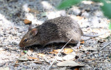 Hispid Cotton Rat - Sigmodon hispidus