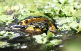 Peninsula Cooter - Pseudemys floridana peninsularis