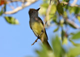 Great-crested Flycatcher - Myiarchus crinitus