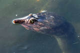 Florida Softshell Turtle - Apalone ferox