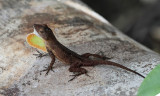 Puerto Rican Crested Anole - Anolis cristatellus