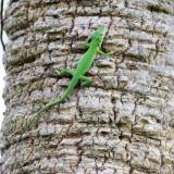 Green Anole - Anolis carolinensis