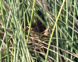 Boat-tailed Grackle - Quiscalus major (female on nest)