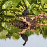 Common Gallinule - Gallinula galeata