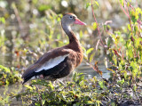 Black-bellied Whistling Duck - Dendrocygna autumnalis