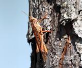 American Bird Grasshopper - Schistocerca americana