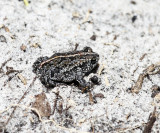 Oak Toad - Anaxyrus quercicus