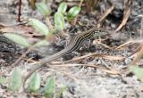 Six-lined Racerunner - Aspidoscelis sexlineatus